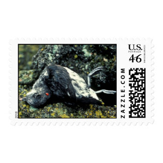 Least Auklet killed by a rat Postage Stamp