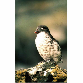 Least Auklet Photo Cut Outs