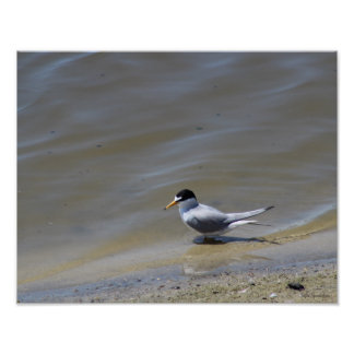 Least Tern Photo 14x11 Archival Matte Poster Print