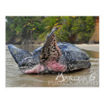 Leatherback Turtle Postcard