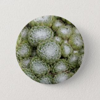 Leaves of a cobweb house leek, Sempervivum arachno Button