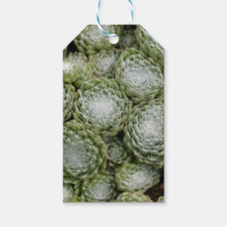 Leaves of a cobweb house leek, Sempervivum arachno Gift Tags