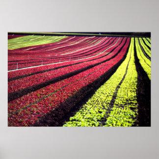 Lechuga roja y verde, el condado de San Luis_obisp Póster