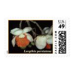 LECYTHIDACEAE: Lecythis persistens ssp. aurantiaca Stamps