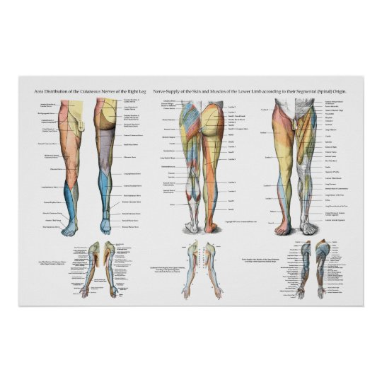 Leg Nerve Innervation Of Lower Extremities Poster Zazzle