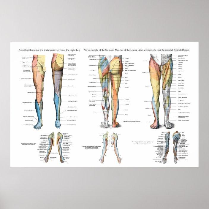 lower extremities diagram leg nerve innervation of lower extremities poster zazzle com  leg nerve innervation of lower
