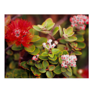 Lehua Blossoms In Hawaii Volcanoes Post Card