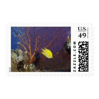 Lemon damsel postage