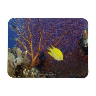 Lemon damsel rectangular photo magnet