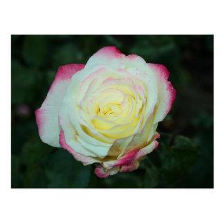 Lemon Kissed Rose Photograph Mini Print Postcard