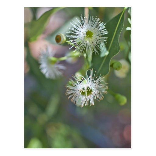 Lemon scented gum blossoms postcard