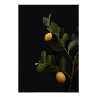 Lemons still on their Branch Poster