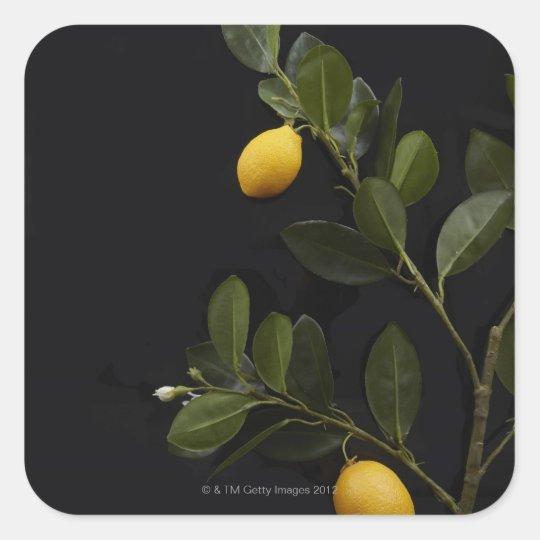 Lemons still on their Branch Square Sticker