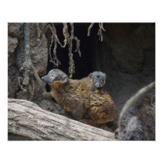 Lemur agarrado de Brown con el bebé Fotos