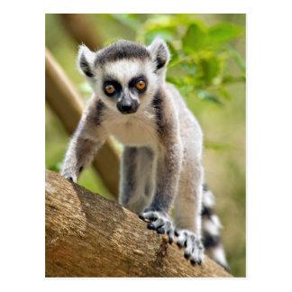 Lemur anillo-atado bebé postales