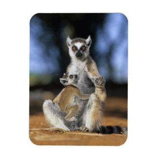 Lemur Anillo-atado, (catta del Lemur), madre y Imanes De Vinilo