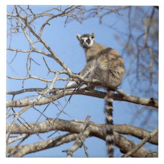 Lemur Anillo-atado (catta del Lemur) que se calien Azulejo Cuadrado Grande