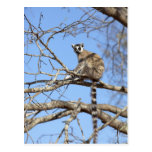 Lemur Anillo-atado (catta del Lemur) que se calien Postales