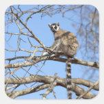 Lemur Anillo-atado (catta del Lemur) que se Pegatinas Cuadradas