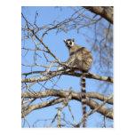Lemur Anillo-atado (catta del Lemur) que se Postales