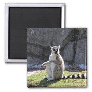 Lemur Anillo-Atado Imán Cuadrado
