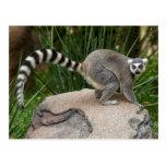 Lemur Anillo-atado Postal