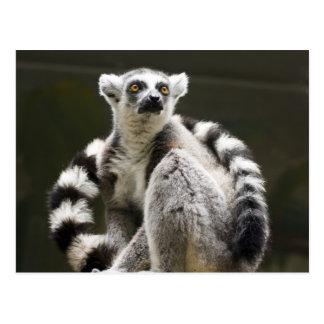 Lemur Anillo-atado Postales