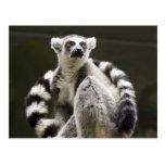 Lemur Anillo-atado Tarjeta Postal