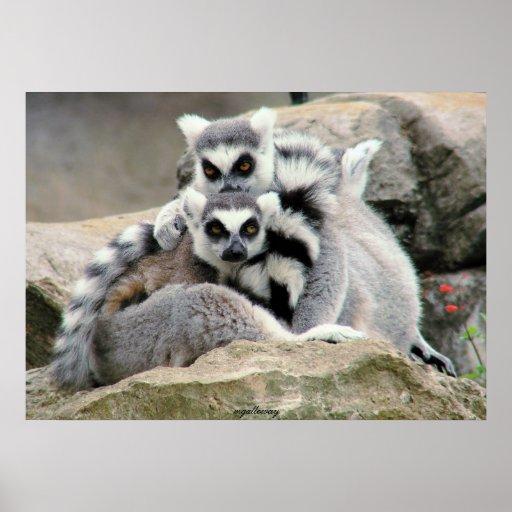 Lemur Cuddles Posters