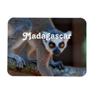 Lemur de Madagascar Imanes De Vinilo