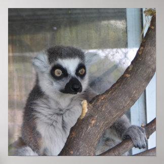 Lemur de ojos brillantes posters