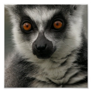 Lemur Face Poster