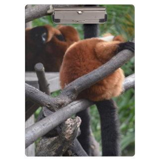 Lemur hinchado rojo que cuelga en la visión