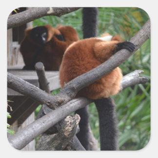 Lemur hinchado rojo que cuelga en la visión colcomania cuadrada