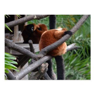 Lemur hinchado rojo que cuelga en la visión postales