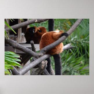 Lemur hinchado rojo que cuelga en la visión traser póster