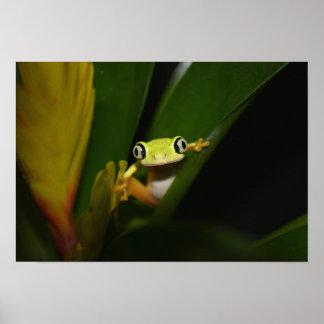 Lemur Leaf Frog (Hylomantis lemur) Poster