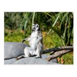 Lemur Monkey Postcard