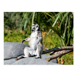 Lemur Monkey Postcard