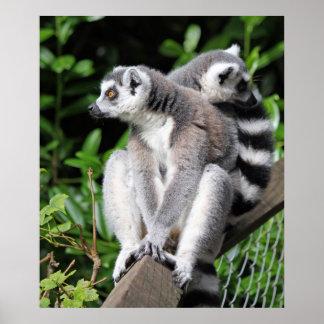 Lemur ring-tailed cute photo poster print