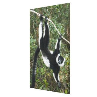 Lemur superado blanco y negro, (Varecia Lona Estirada Galerías