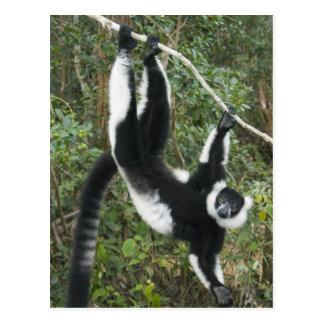 Lemur superado blanco y negro, (Varecia Postales