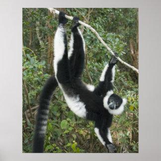 Lemur superado blanco y negro, (Varecia Póster