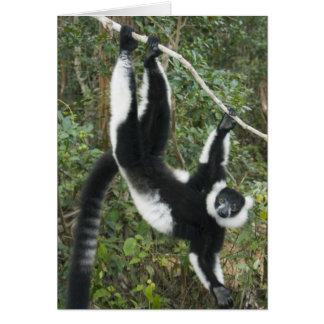 Lemur superado blanco y negro, (Varecia Tarjeta De Felicitación