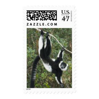 Lemur superado blanco y negro, (Varecia Timbres Postales