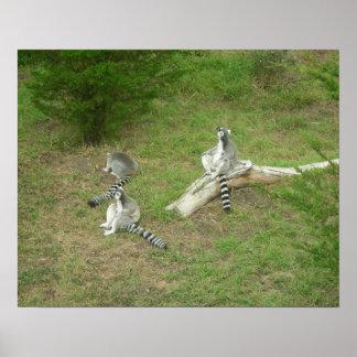 Lemurs 003 20 poster x16