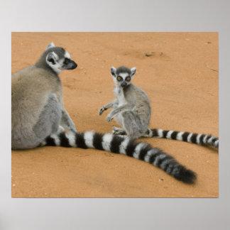 Lemurs Anillo-atados catta del Lemur Berenty Poster