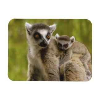 lemurs Anillo-atados (catta) del Lemur madre y beb Iman Flexible