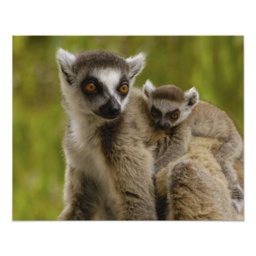 lemurs Anillo-atados (catta) del Lemur madre y beb Posters