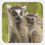 lemurs Anillo-atados (catta) del Lemur madre y beb Calcomania Cuadrada Personalizada